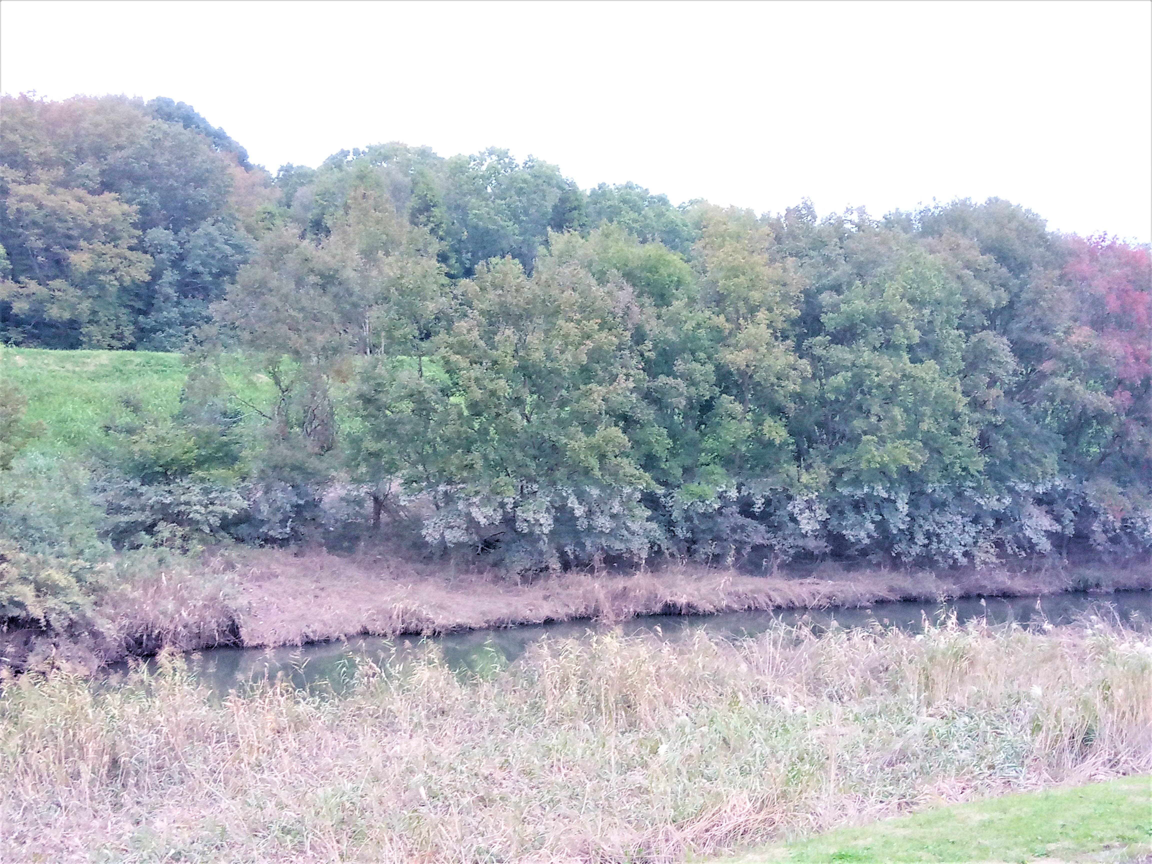 利根運河における残像 東深井663地先から野田市方面を見ると水位の上昇と一緒に木々が汚れています